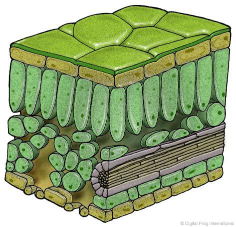 Leaf Cell Diagram http://www.digitalfrog.com/resources/raingallery.html