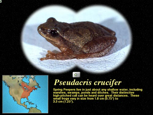 Spring peeper from the ecology section of The Digital Frog 2.5